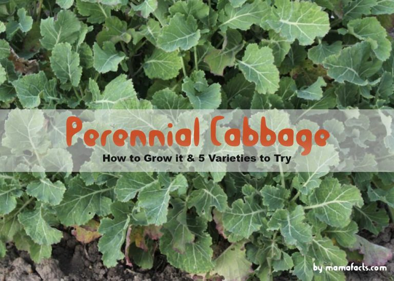 How to Grow Perennial Cabbage at home & 5 Varieties to Try